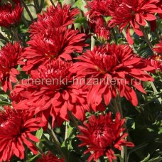 Хризантема корейская №70 Червона Калына