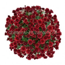 Хризантема Мультифлора №14 Branhill Red (Бранхилл Ред)
