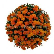 Хризантема корейская №23 Колобок