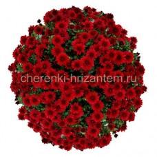 Хризантема Мультифлора №3 Kamina Red (Камина Ред)