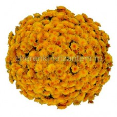 Хризантема Мультифлора №7 Golden Orange (Золотой апельсин)