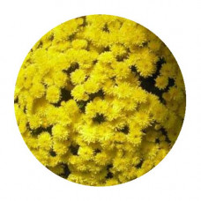Хризантема Мультифлора №74 Axima Yellow (Аксима еллоу)