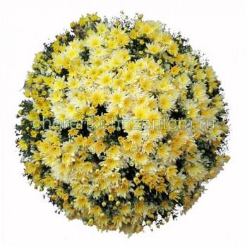 Хризантема Мультифлора №60 Bigli Yellow (Бигли Еллоу)