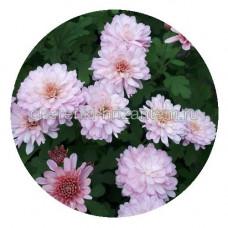 Хризантема Мультифлора №21 Branhill Sweet Pink (Бранхилл свит пинк)