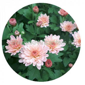 Хризантема Мультифлора №80  Bransky Peach (Бранскай пич)