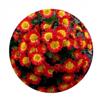 Хризантема Мультифлора №82 Dora Red (Дора Ред)