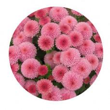 Хризантема Мультифлора №70  Kateli Pink (Катели пинк)