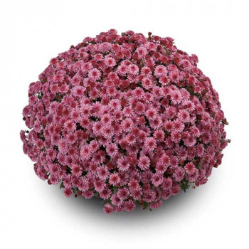 Хризантема Мультифлора №78 San Remo Pink (Сан ремо пинк)