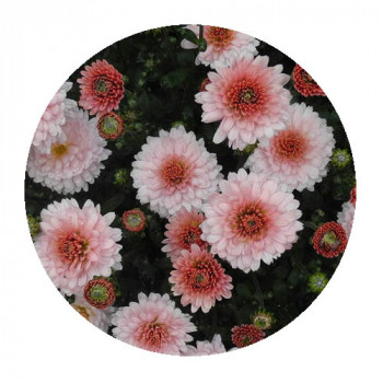 Хризантема Мультифлора №83 September Bay City Sweet Rose (Септембер бай сити свит роуз)