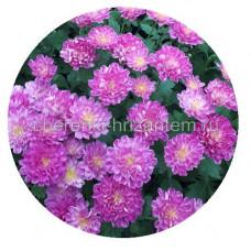 Хризантема Мультифлора №54 Sunbeam dito Pink (Санбим дито пинк)