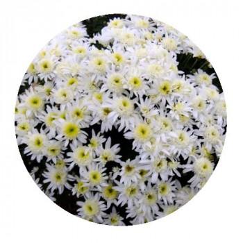 Хризантема Мультифлора №22 Sunbeam off White (Санбим оф вайт)