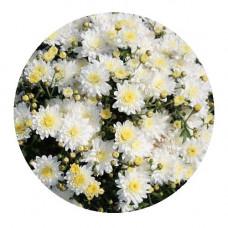 Хризантема Мультифлора №72 Sunbeam White (Санбим вайт)