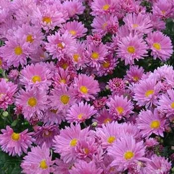 Хризантема корейская №219 Розовая мечта