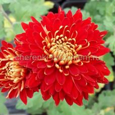 Хризантема корейская №211 Аврора