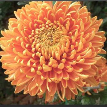 Хризантема корейская №223 Рыжая