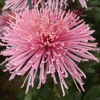 Хризантема китайская №215 Спайдер пинк (Spider Pink)