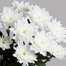 Хризантема китайская №302 Балтика вайт (Baltica White)