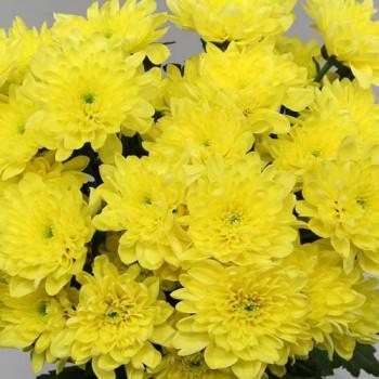 Хризантема китайская №303 Балтика еллоу (Baltica Yellow)