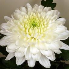 Хризантема крупноцветковая №403 Зембла