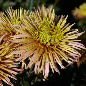 Хризантема крупноцветковая №404 Тула