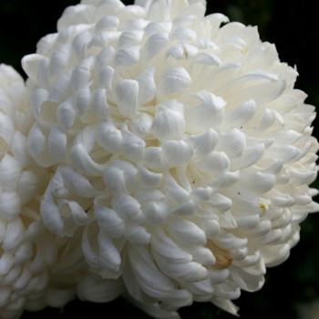 Хризантема крупноцветковая №402 Reflex (Рефлекс)