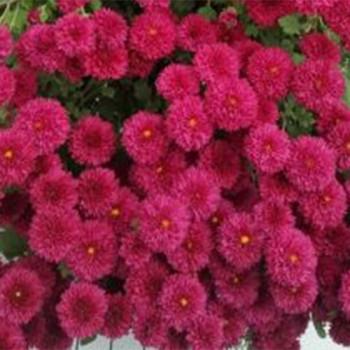 Хризантема каскадная №505 Capelan (Капелан)