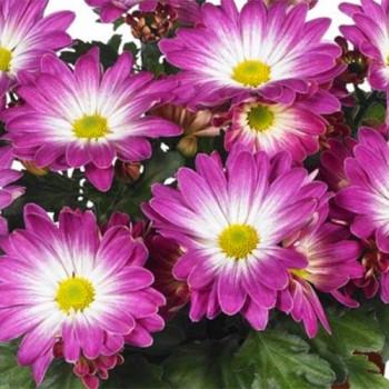 Хризантема горшечная №702 Rainbow Pink Secret (Рейнбоу пинк сикрет)