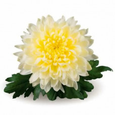 Хризантема №705 Intrepid (Интрепид)