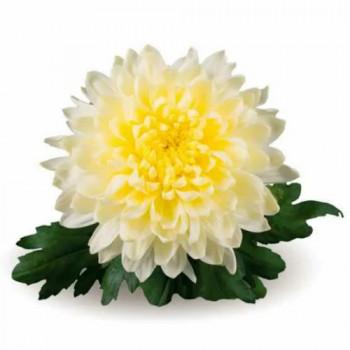 Хризантема горшечная №705 Intrepid (Интрепид)