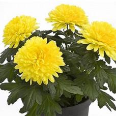 Хризантема №706 Intrepid Yellow (Интрепид еллоу)