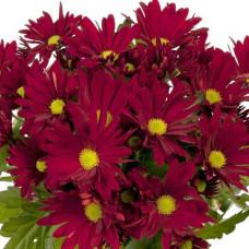 Хризантема горшечная №709 Breeze Dark Red (Бриз дарк ред)