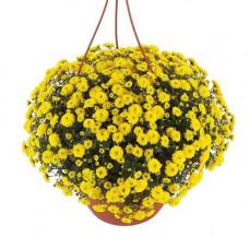 Хризантема ампельная №501 Skyfall Yellow (Скайфолл еллоу)