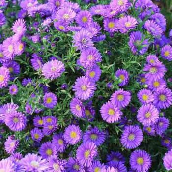 Астра новобельгийская №603 Magik Purple (пурпурная)