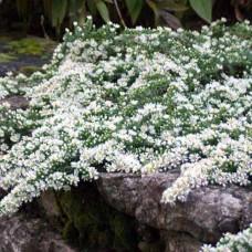 Астра вересковая многолетняя №602 Snow Flurry (белая)