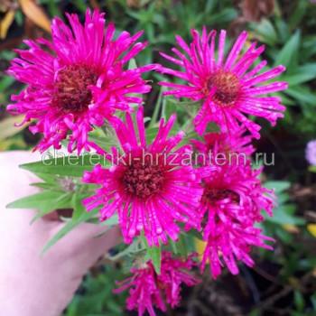 Астра новоанглийская №604 розовая