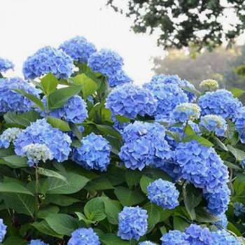 Гортензия крупнолистная Вечное Лето Блум Стар/Эндлесс Саммер Блум Стар (Endless Summer Bloom Star)