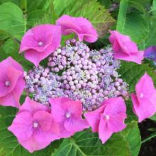 Гортензия крупнолистная Теллер Пинк (Teller Pink)