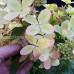 Гортензия метельчатая Пастель Грин (Pastelgreen)