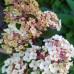 Гортензия метельчатая Самарская Лидия