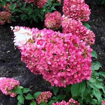 Гортензия метельчатая Стравберри Блоссом (Strawberry Blossom)
