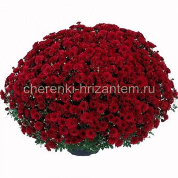 Хризантема Мультифлора №45 Andaz (Андаз)
