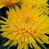 Крупноцветковая (1)