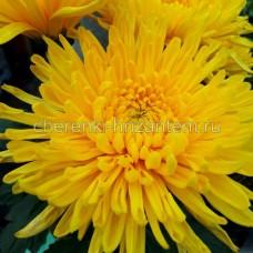 Хризантема крупноцветковая №54 Natasha (Наташа)