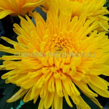 Хризантема крупноцветковая №401 Natasha (Наташа)