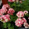 Пеларгония розебудная и тюльпановидная (4)