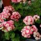 Пеларгония розебудная, тюльпановидная