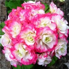Пеларгония розебудная Appleblossom - №1