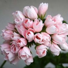 Пеларгония тюльпановидная Emma  - №3