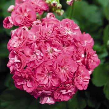Пеларгония розебудная Rosalinda
