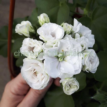 Пеларгония плющелистная Ice Rose